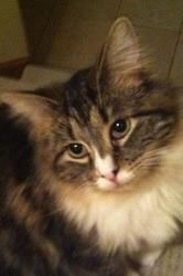 Brooklyn is an adoptable Maine Coon Cat in Torrington, CT. The typical adoption donation is $95 for kittens and $75 for cats. Please inquire to find out the adoption fee of special breeds (such as Mai...