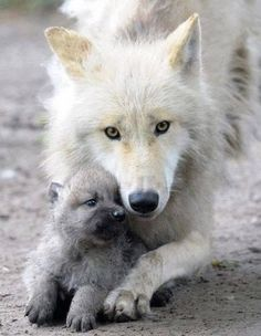 mother and baby wolf - beautiful
