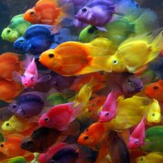 Rainbow Fish, they reproduce in every color of the rainbow and more.