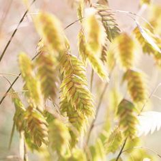 Wispy ornamental grasses are versatile plants in any garden or landscape. Give your garden four seasons of interest with low-maintenance ornamental grasses. We've rounded up some of the best varieties to try in your yard. Feather Reed Grass, Mexican Feather Grass, Perennial Grasses, Ornamental Grasses, Shade Perennials, Blue Oat Grass, Landscape Design, Garden Design, Landscape Grasses