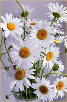 Daisies are the happiest flower don& you think? Happy Flowers, Flowers Nature, White Flowers, Beautiful Flowers, Image Zen, Sunflowers And Daisies, Daisy Love, Little Flowers, Gerbera