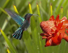 colibri & rose de porcelaine / Martinique