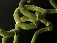bambu suerte | Cuidar de tus plantas es facilisimo.com