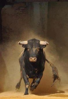 Vida Animal, Mundo Animal, Farm Animals, Animals And Pets, Cute Animals, Wild Animals, Beautiful Creatures, Animals Beautiful, Charging Bull