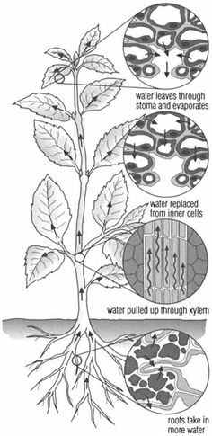 transpiration The loss of water from a plant by evaporation is known as transpiration.Most of the water is lost through the surface openings, or stomata, on the leaves. The evaporation produces what is known as the transpiration stream, a tension that draws water up from the roots through the xylem, or water-carrying vessels, in the stem.