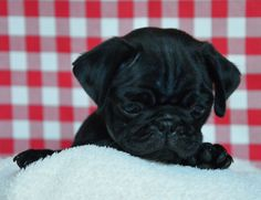 """Fantastic """"black pug puppies"""" information is offered on our website. Check it out and you will not be sorry you did. Black Pug Puppies, Pug Mix, Dogs And Puppies, Doggies, Pugs, Pug Accessories, Pug Love, Dog Care, French Bulldog"""