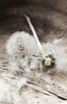 Taupe...it's only natural Taraxacum, How To Remember Dreams, Still Life Photography, Color Inspiration, Dandelions, Dandelion Clock, Dandelion Wish, White Dandelion, Think Happy Be Happy