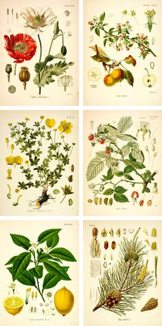 Botanical Drawings   free botanical prints