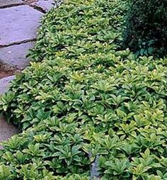 Variegated Pachysandra - Planted a bunch of these in my shade garden.  I hope they fill in quickly.