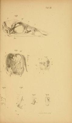 Untersuchungen über den Bau des Knöchernen Vogelkopfes / - Biodiversity Heritage Library