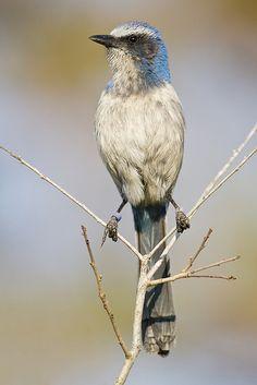 Florida Scrub Jay: the only bird endemic to Florida