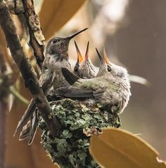Fledging Day For Two Baby Anna's by Geoffrey Shuen - Photo 206871097 / 500px