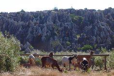 Cabras en el Cerro del Hierro