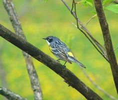 Yellow Rumped Warbler. Such a pretty bird...so many better names they could have. #nwf #BackyardHabitat #StarWoods