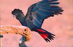 Australia's Black Cockatoo.  http://www.ayersrockresort.com.au/fauna/