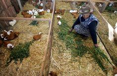 adopt/foster piggies that need homes Guinea Pig Breeding, Guinea Pigs, Funny Animals, Cute Animals, Raising Rabbits, Pet Mice, Pig Farming, Strange Photos, Little Critter