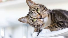 Milk makes cats sick  While your kitty might love a bowl of milk it is actually difficult for them to digest and is a cause of feline obesity. As cats get older it is harder for them to digest lactose and this could give them diarrhoea. Cats can get all of the nutrition they need from good-quality commercial cat food.
