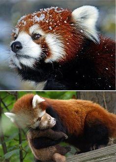 Cute Tofu Desktop Wallpaper Red Panda Cutearoo Puppies Kittens Baby Animals