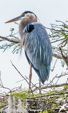 The Great Blue Heron by LookWithMePhotos on Etsy