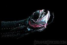 Black Dragon Fish, or Idiacanthus atlanticus. A deep ocean dweller