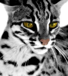 This is an example of the principle of design, Contrast. The white, black, and gray stripes on the cat's fur all contrast each other. Especially on the cat's neck and jaw, where the gray isn't present and the light-dark comparison is simply between the white and black patches.