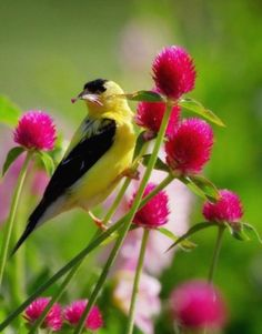 American Goldfinch - I got my first lil Goldie at my Finch Feeder this Morning!  <3