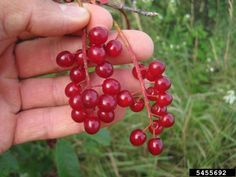 Make Your Own Organic Natural Red Fabric Dyes: Chokecherries Red Fabric, How To Dye Fabric, Prunus, Small Trees, Landscaping Plants, Red Berries, Natural Red, Make Your Own, Home