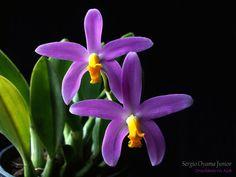 Mini-orquidea Laelia longipes Rare Flowers, Amazing Flowers, Purple Flowers, Beautiful Flowers, Orchid Flowers, Purple Flowering Plants, Orchid Plants, Orchid Images, Flower Images