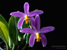 Mini-orquidea Laelia longipes