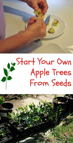 Start Your Own Apple Trees From Seeds