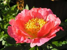 """Coral and gold"" peony.  !Me encanta!    I'm thinking this one and ""High Noon"" for the front yard at the new house."