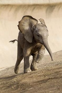 Little elephant running up a hill... I didn't know they could be so adorable. http://sulia.com/channel/animals/f/1559d564-1da3-420b-a48e-c831c3105f61/?source=pin&action=share&btn=small&form_factor=mobile&pinner=121624913