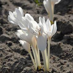 Buy Colchicum autumnale 'Album' (Meadow saffron) - De Warande - Strongbulbs.com