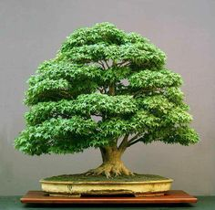 Marvelous maples:This maple is one that is currently on display at the National Bonsai Collection in Washington, USA and is similar to the collection to be showcased in Wauchope this Saturday