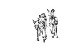 B&W print of wild dog pups playing by wildlife photographer Dave Hamman Wildlife Photography, Animal Photography, African Wild Dog, Charcoal Art, Wild Dogs, African Animals, Wildlife Art, Dog Art, Art Prints