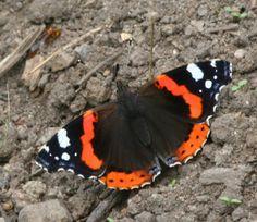 Amiraaliperhonen, Vanessa atalanta Beautiful Butterflies, Pet Birds, Finland, Scenery, Butterfly, Nature, Tattoos, Butterflies, Animaux