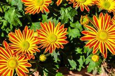 Cómo y cuándo plantar Gazania - Mi Jardín