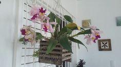 Touceira completa da Cattleya Rosa Floripa