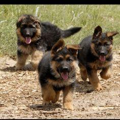 German shepherd puppies ! ADORABLE