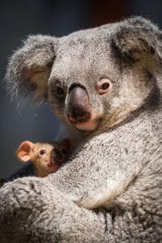 Koala Bear - ok im not huge on Koalas but look at that lil baby! - Baby Wear - Mary Kay Montague - Koala Bear - ok im not huge on Koalas but look at that lil baby! - Baby Wear Koala Bear – ok im not huge on Koalas but look at that lil baby! Cute Baby Animals, Animals And Pets, Funny Animals, Zoo Animals, Funny Cats, Beautiful Creatures, Animals Beautiful, The Wombats, Baby Koala