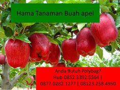 Simak, Apa Saja Hama Tanaman Buah apel
