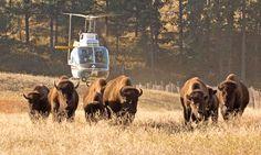 Yellowstone begins 2014 Wild Bison Slaughter - warning graphic photos