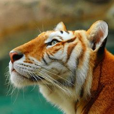 A golden tabby tiger or strawberry tiger is one with an extremely rare color variation caused by a recessive gene that is currently only found in captive tigers. #animalplanet