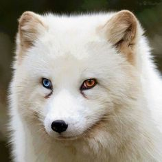 122 Unusually Beautiful Animals With Different-Colored Eyes Arctix Fox Unique Animals, Cute Baby Animals, Animals Beautiful, Animals And Pets, Funny Animals, Colorful Animals, Multi Colored Eyes, Different Colored Eyes, Arctic Fox