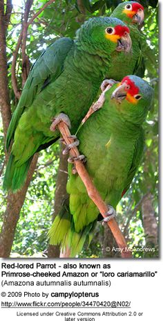 Amazon Parrots are social, playful, and love to be the center of attention.
