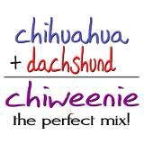 Chiweenie...THE PERFECT MIX