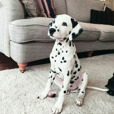 Best Dogs And Puppies Dalmatian Ideas The Animals, Cute Baby Animals, Funny Animals, Animals Planet, Cute Dogs And Puppies, I Love Dogs, Doggies, Corgi Puppies, Nice Dogs