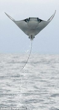 Flight of the Manta Ray... yea I would freak out!