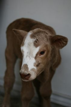 Sweet baby calf!