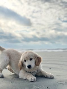 Callie The Golden Retriever ( Puppies And Kitties, Dogs And Puppies, Doggies, Super Cute Puppies, Cute Dogs, Cute Baby Animals, Funny Animals, Funny Looking Cats, Labrador Puppies